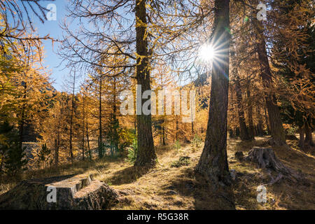 sun shines through golden yellow larch forest in late autumn in a mountain valley under a blue sky - Stock Photo