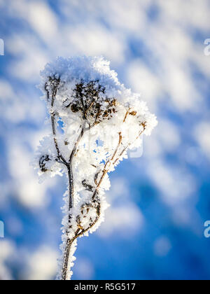 first snow, frozen flower, covered with ice crystals in late fall - Stock Photo