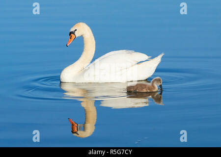 swans on a lake in the müritz national park in summer - Stock Photo