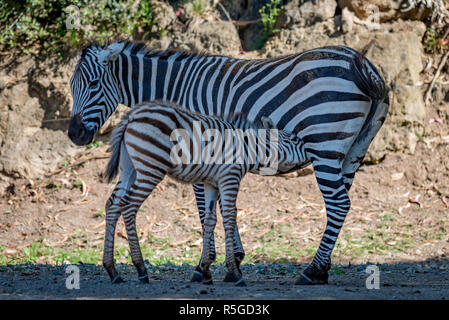 Baby Grevy zebra drinking milk from mother - Stock Photo