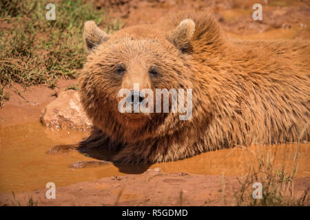 Brown bear lying in mud in sunlight - Stock Photo