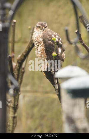 Eurasian Sparrowhawk, Northern Sparrowhawk, Accipiter nisus, juvenile, in garden tree next to bird feeders, seed holders, January. - Stock Photo