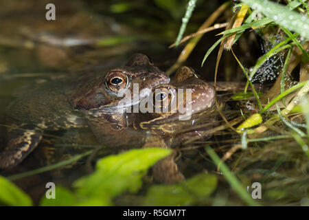 Common Frogs, Rana temporaria, Pair in amplexus mating in breeding pond, Sussex, UK.  February. - Stock Photo