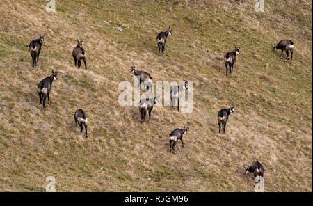 Chamois (Rupicapra rupicapra), a pack grazes in autumn on a mountain slope, Gröbenalm in Unterautal, Karwendel Mountains, Tyrol - Stock Photo