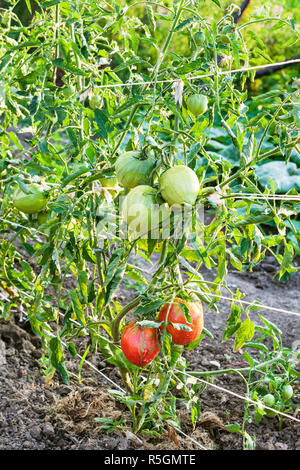 ripening tomato fruits on bushes in evening - Stock Photo