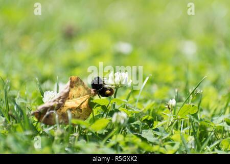 Bumblebee climbing on a flower - Stock Photo