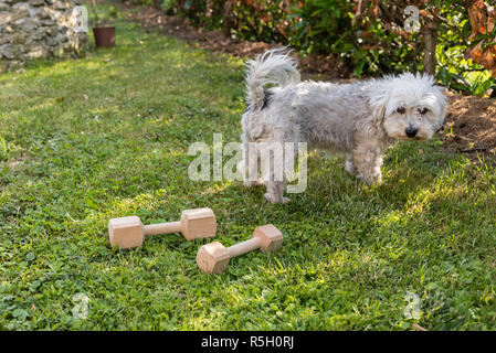 havanese uninterested in the timber - Stock Photo
