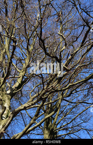 Winter view of beech trees against a blue sky - Stock Photo