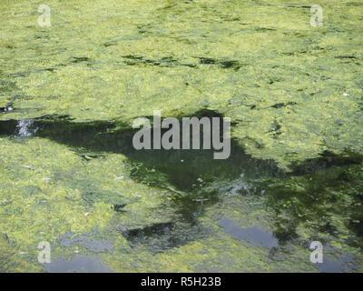 Algae floating on water - Stock Photo