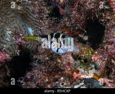 Black Saddled Toby (Canthigaster valentini) in the Indian Ocean Stock Photo