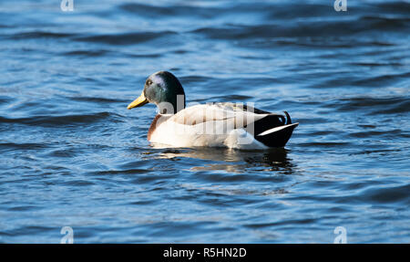 Male Mallard Duck (Anas platyrhynchos) - Stock Photo