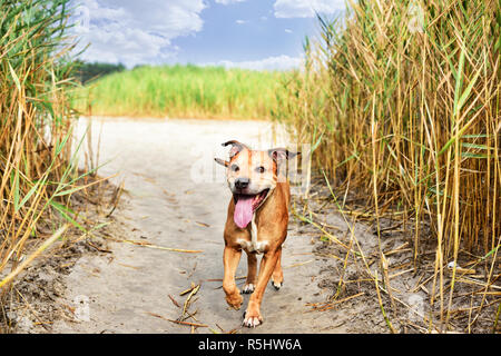 red American pit bull terrier - Stock Photo