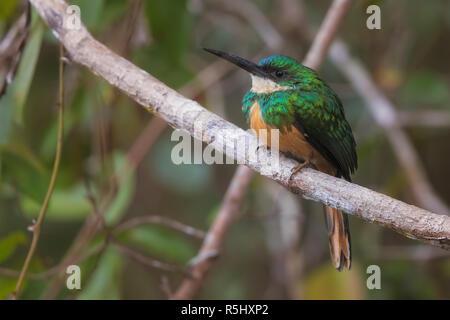 Rufous-tailed Jacamar - Stock Photo