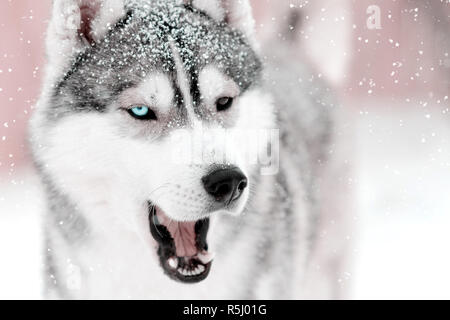 Gray dog husky saying something with mouth open outdoors. Snow falling laying on fir - Stock Photo