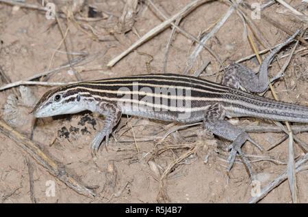 Plateau Striped Whiptail, Aspidoscelis velox - Stock Photo