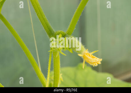 Young plants are green cucumbers with flowers hanging on the branch - Stock Photo