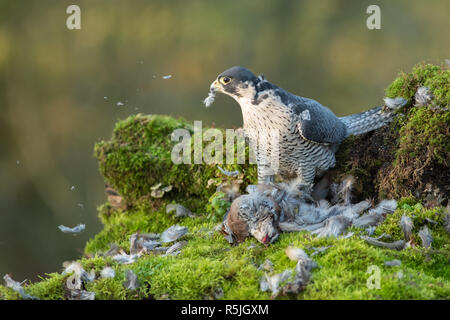 A peregrine falcon with its prey. The image shows the bird looking to the right over a dead partridge it has been plucking and eating