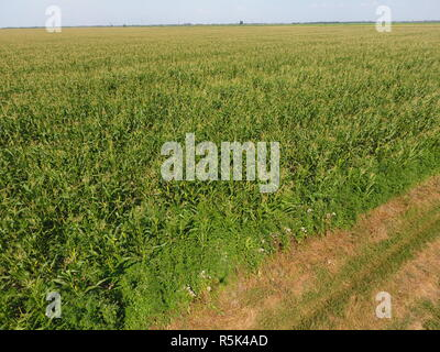 Field of corn and part of the field of sloping wheat. Green corn blooms on the field. Period of growth and ripening of corn cobs. - Stock Photo