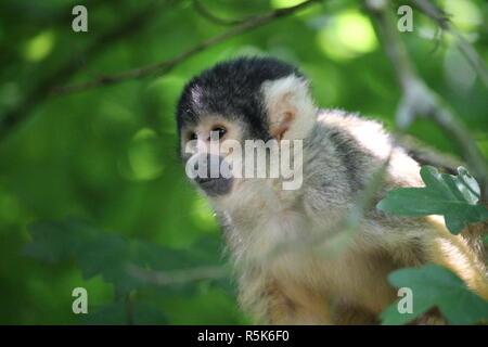 Die Totenkopfaffen oder Totenkopfäffchen (Saimiri) sind eine Primatengattung aus der Familie der Kapuzinerartigen. - Stock Photo