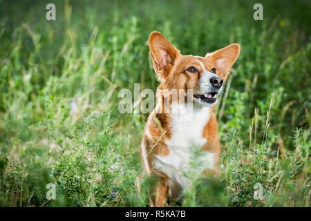welsh corgi on the grass lookin up - Stock Photo
