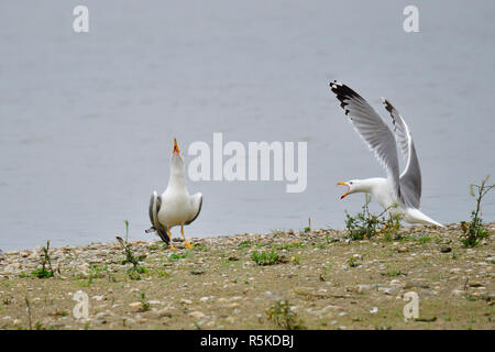 adult mediterranean seagull in breed dress - Stock Photo