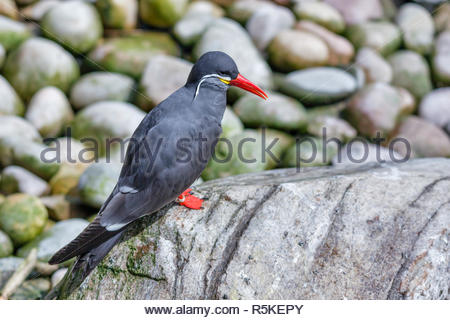 Inca Tern (Larosterna inca) - Stock Photo