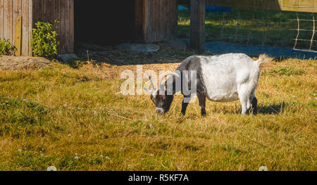 goat eats grass in a meadow in front of a wooden hut - Stock Photo