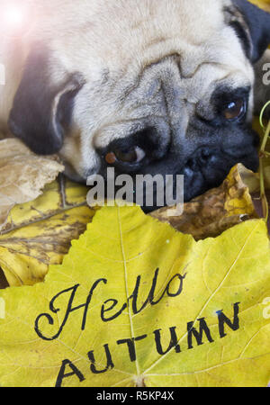 Sad pug laying on the yellow dry autumn leaves - Stock Photo