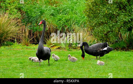 A pair of black swans on grass with cygnets - Stock Photo