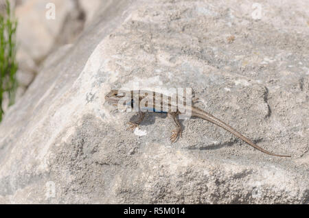 Plateau Fence Lizard, Sceloprus tristichus - Stock Photo