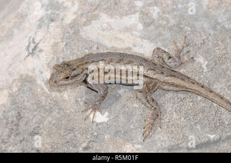 Plateau Fence Lizard, Sceloprus tristichus - Stock Photo