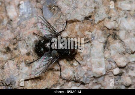 Tachinid Fly, Family Tachinidae - Stock Photo