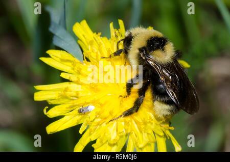 Indiscriminate Cuckoo Bumble Bee, Bombus insularis, on Dandelion, Taraxacum officinale - Stock Photo