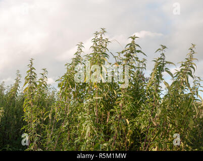 massive wild growing nettle plants and ferns seen from side - Stock Photo