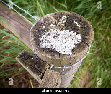 strange white moss fungus growing on a wooden post countryside outside - Stock Photo