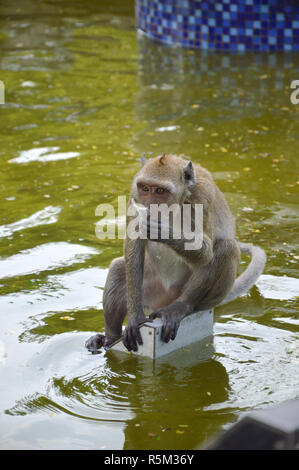 Crab eating macaque - Stock Photo