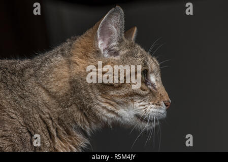 A tabby cat intently looking at something out of the frame of the photo. - Stock Photo