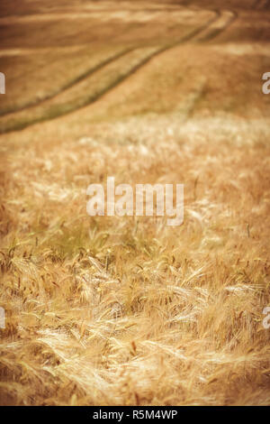 rye field - vintage - Stock Photo