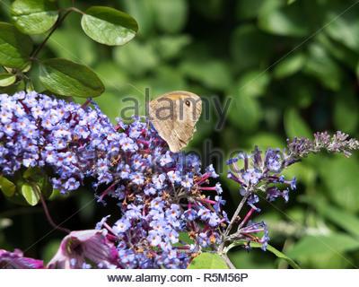 Meadow Brown Butterfly (Maniola jurtina) Feeding on Buddleia - Stock Photo