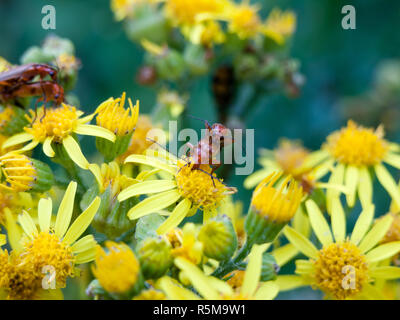 Two soldier beetles on top of each other on yellow flower outside in wild - Stock Photo