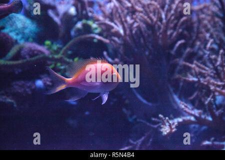 Sunburst anthias fish Serranocirrhitus latus - Stock Photo