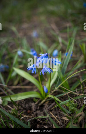 Siberian squill, Scilla siberica, wood squill blue flower - Stock Photo