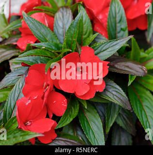 Red New Guinea impatiens flowers in pots - Stock Photo