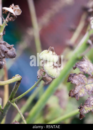 two green closed flower buds wet summer - Stock Photo
