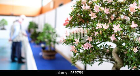 azalea as a bonsai tree on an exhibition with visitors - Stock Photo