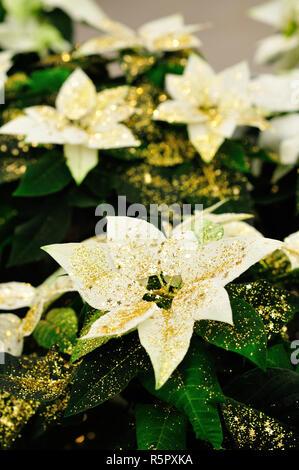 White Poinsettia plant with glitters - Stock Photo