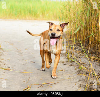 smiling redhead American pit bulls walking on nature - Stock Photo