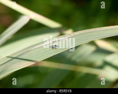 Small green insect blue mint leaf beetle - Chrysolina coerulans - Stock Photo