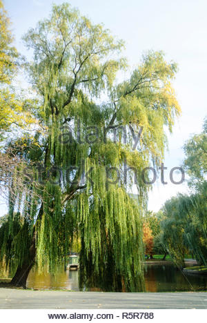 Huge weeping willow leans over pond on Boston Common - Stock Photo