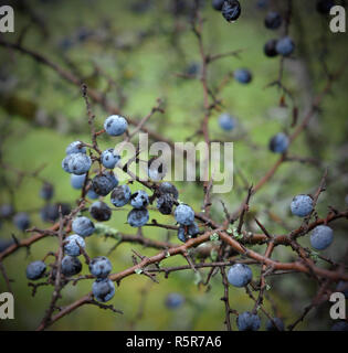 Sloe berries on a tree in month of Novemver. Prunus spinosa, Schlehe covered with ice. Blackthorn bush - Stock Photo